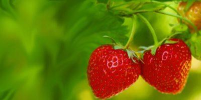 Livets tigrar och jordgubbar